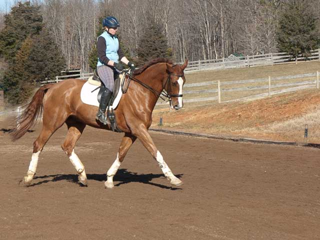 chiccolino-polish-warmblood-dressage-horse-for-sale-3rd-level